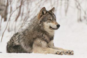 www.wolf.org